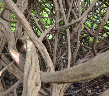 Of Roots and Vines